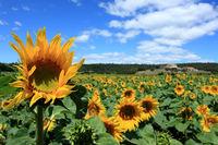 mediterranean sunflowers