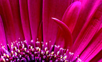 Gerbera Macro Close Up