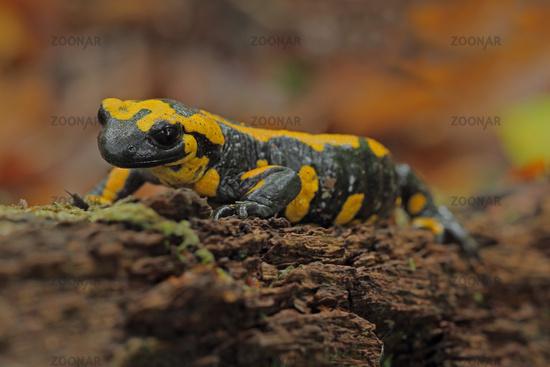 Spotted salamander (Salamandra salamandra)