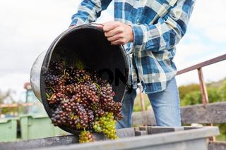 Erntehelfer schüttet Weintrauben aus Eimer