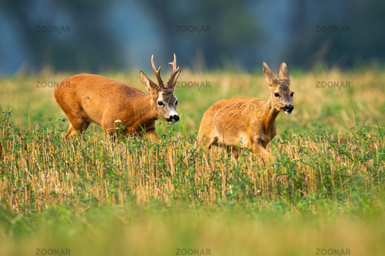 Roe deer buck chasing doe on stubble field in rutting season