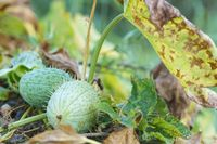 a perennial or annual herbaceous plant, Ecballium elaterium plant of the Pumpkin family