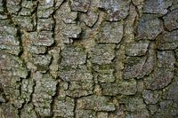 weathered and mossy green bark