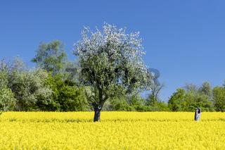 Blühendes Rapsfeld mit blühenden Apfelbäumen in Wiesbaden Naurod