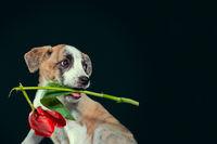 piebald puppy keeping in teeth a tulip flower at dark background