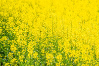 Yellow blooming rape field in spring