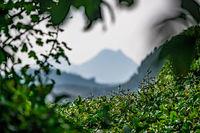Beautiful shot of a tea bushes and plantation in China