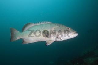 Goliath Zackenbarsch, Mexiko