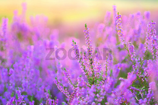 Heide im Spätsommer - flowering Heather, Calluna vulgaris in the morning