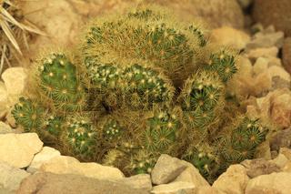 Winterharter Kaktus