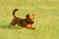 Cute mixed breed dog playing on a meadow. Age almost 2 years. Parson Jack Russell - German shepherd
