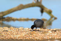 Coot near water