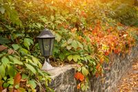 Old street lighting lantern is framed by beautiful inflorescence of autumn ivy garden or wild grapes