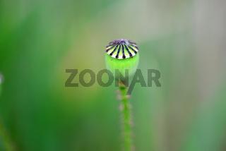 poppy flower bud macro