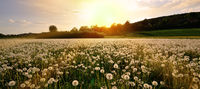 meadow vintage panorama flowers dandelion sunset mood