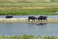 Fighting Water buffalos (Bubalus arnee) in Schleswig-Holstein, Germany, Europe