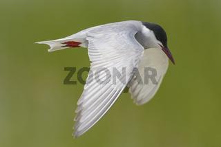 Weissbart-Seeschwalbe, Chlidonias hybrida, whiskered tern