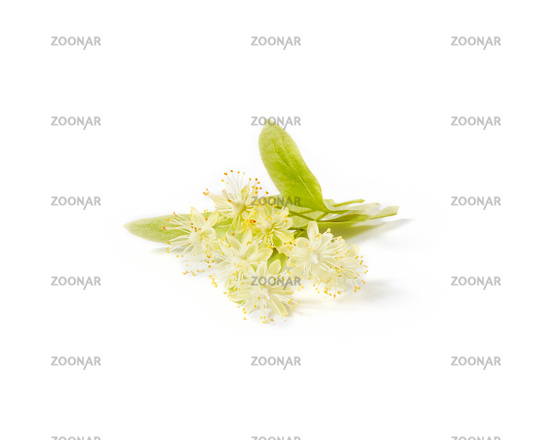 Natural branch of Linden or Tilia tree with yellow flowers.