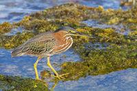 Green heron seeks food in water