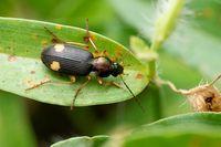 Dorsal of Ground beetle, Chlaenius boneili, Satara, Maharashtra, India