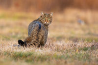 Surprised european wildcat turning back on meadow.