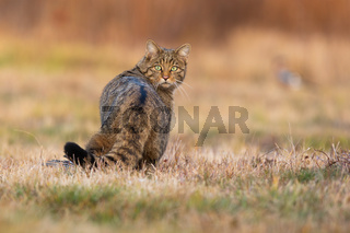 Surprised european wildcat turning back on meadow.