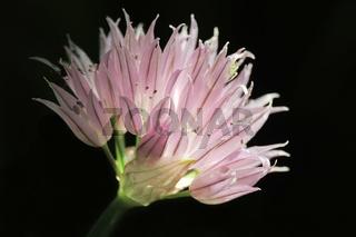 Blütenstand des Schnittlauch