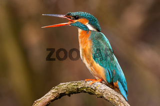 Angry common kingfisher female calling with open long beak in spring nature