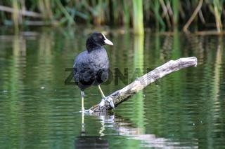 Ein Blässhuhn, Teichhuhn in einem Teich.