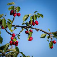 Fruity cherries on a cherry tree