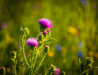Thorny thistle blooms