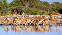 Drinking impalas, Etosha National Park, Namibia, (Aepyceros melampus)