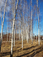 Birch trees on the Wall Trail in the north of Berlin on a sunny winter day