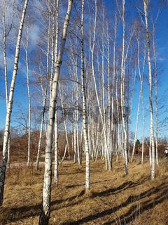 Birken am Mauerweg im Norden von Berlin an einem sonnigen Wintertag
