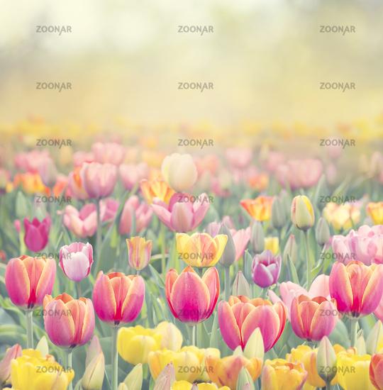 Colorful tulip field