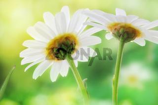 Idyllic Daisies (Marguerite) meadow in bright sunlight. Backlit Photography