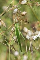 Grosses Grünes Heupferd (Tettigonia viridissima)