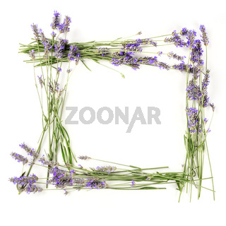 A square frame of blooming lavender flowers, shot from above on a white background