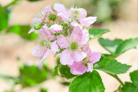 Bunch of blackberry or raspberry spring blossom