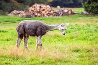 Charming gray llama