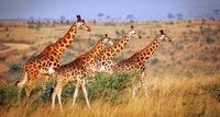Ugandan giraffe, Murchison Falls National Park Uganda (Giraffa camelopardalis rothschildi)