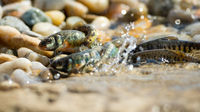 Shoal of vital common minnow breeding on riverbank in summer nature