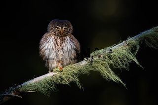 Adorable eurasian pygmy-owl sitting on the branch in the dark atmosphere