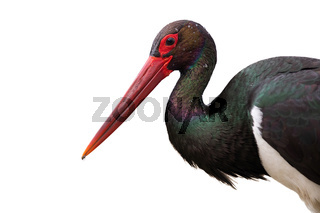 Close up of black stork looking into camera isolated on white background