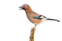 Eurasian jay singing on branch isolated on white background.