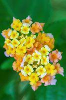 Lantana Camara flowers, Ethiopia Africa