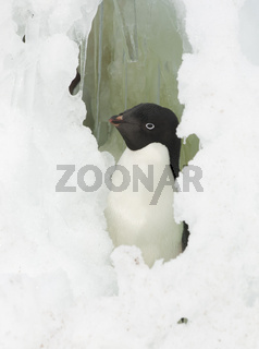 Adelie penguin looking out the window of the snow.