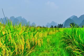 Li river mountain rice landscape in Yangshuo Guilin