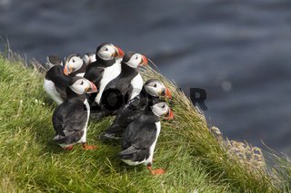 Papageitaucher (Fratercula arctica), Papey, Island