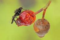 Hawthorn fly (Bibio marci)